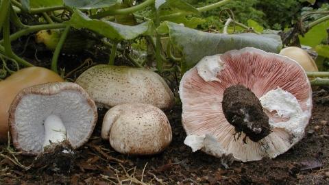 Agaricus Subrufescens Blazei